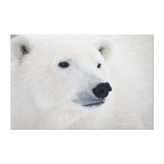 Polar Bear Churchill Stretched Canvas Prints