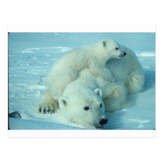 Polar bear cub and mom - 2 postcard