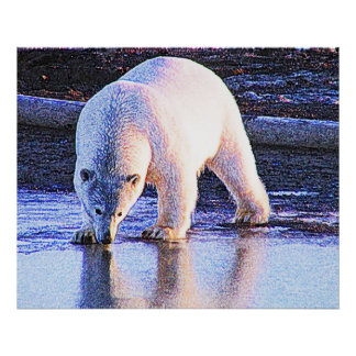 Polar Bear Drinking Poster