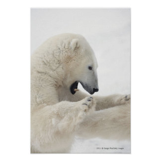 Polar bear engaging in a fight with another bear poster