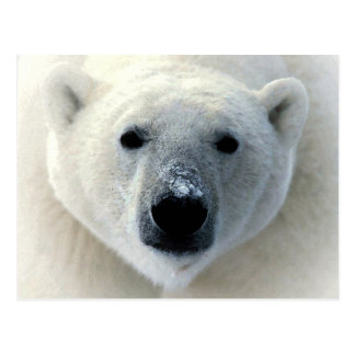 Polar Bear Face Postcard