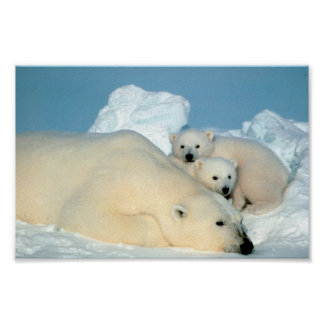 Polar Bear Family Poster