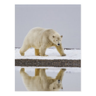 Polar bear is reflected in calm waters 2 postcard