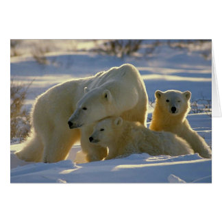 Polar Bear Mother And Cubs Portrait Blank Card