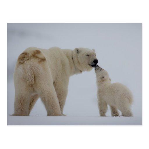Polar Bear mother with cub Postcard