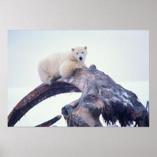 Polar bear on top of a bowhead whale jaw bone, poster