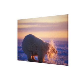 Polar bear pulling its head out of a hole in the stretched canvas print