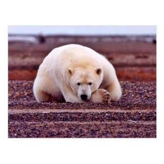 Polar Bear Resting but Alert Postcard