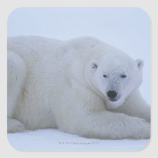 Polar Bear Resting in Snow Square Sticker