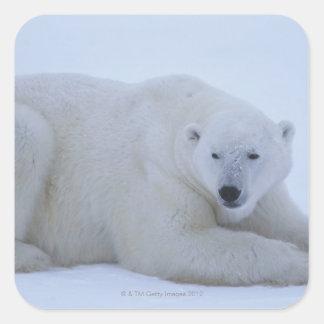 Polar Bear Resting in Snow Square Sticker