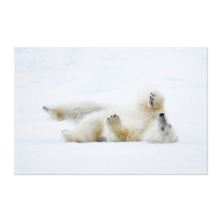Polar bear rolling in snow, Norway Canvas Print