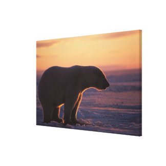 Polar bear silhouette, sunrise, pack ice of gallery wrapped canvas