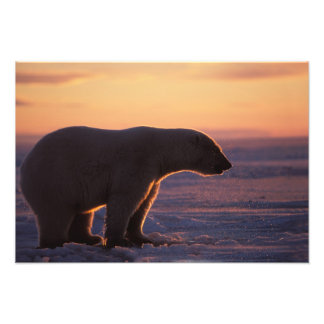 Polar bear silhouette, sunrise, pack ice of photograph