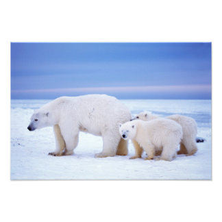 Polar bear sow with cubs on pack ice of photograph