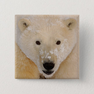polar bear, Ursus maritimus, close up of a cub 2 Inch Square Button