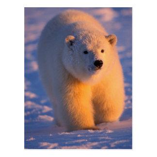 polar bear, Ursus maritimus, cub on the pack Postcard