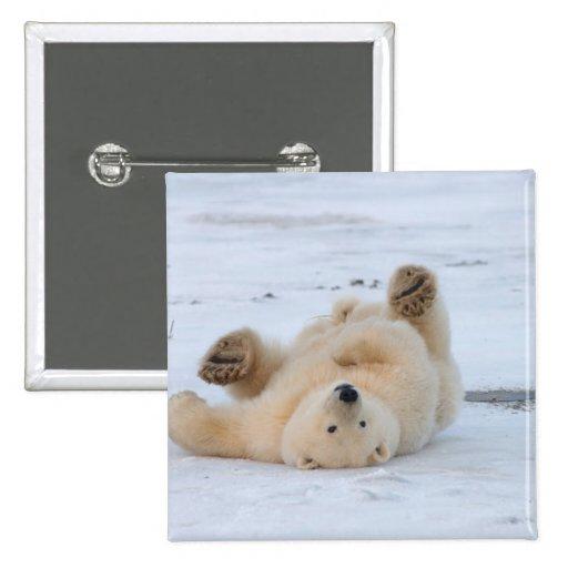 polar bear, Ursus maritimus, cub rolling 3 Buttons