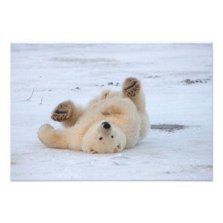 polar bear, Ursus maritimus, cub rolling 3 Photograph