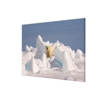 polar bear, Ursus maritimus, in rough ice on 2 Canvas Print