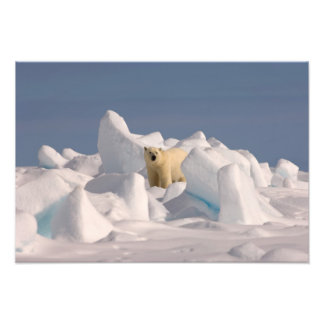 polar bear, Ursus maritimus, in rough ice on 2 Photo Art