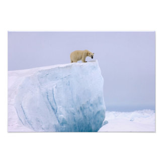 polar bear, Ursus maritimus, on a giant Photo Print