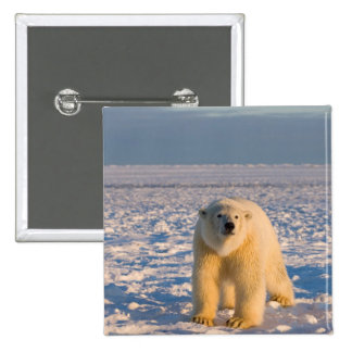 polar bear, Ursus maritimus, on ice and snow, 2 Inch Square Button