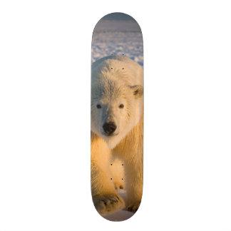 polar bear, Ursus maritimus, polar bear on ice Skate Decks