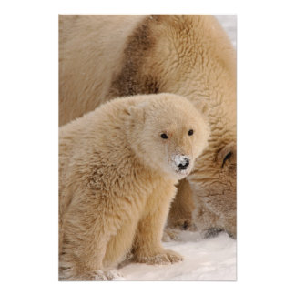 polar bear, Ursus maritimus, sow with cub 3 Photograph