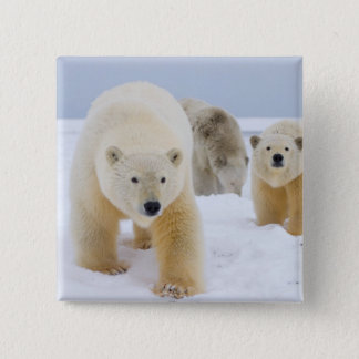 polar bear, Ursus maritimus, sow with cubs on 3 2 Inch Square Button