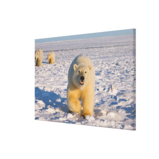 polar bear, Ursus maritimus, sow with cubs on 3 Gallery Wrap Canvas