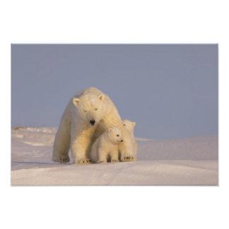 polar bear, Ursus maritimus, sow with newborn 2 Photo