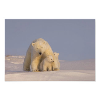 polar bear, Ursus maritimus, sow with newborn 2 Photo Print