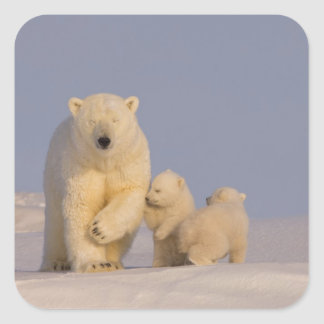 polar bear, Ursus maritimus, sow with newborn 3 Square Sticker