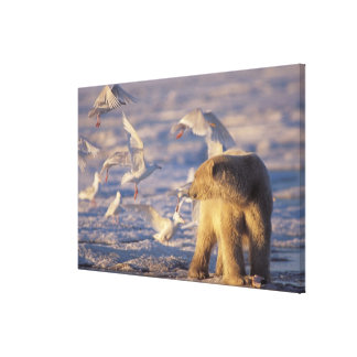 polar bear, Ursus maritimus, with Stretched Canvas Prints