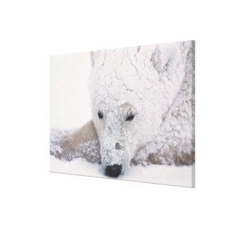 Polar Bear, Urus Maritimus, Arctic, Churchill, Canvas Prints