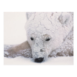 Polar Bear, Urus Maritimus, Arctic, Churchill, Postcard