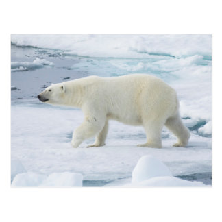 Polar bear walking, Norway Postcard