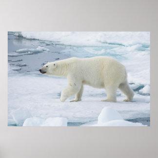 Polar bear walking, Norway Poster