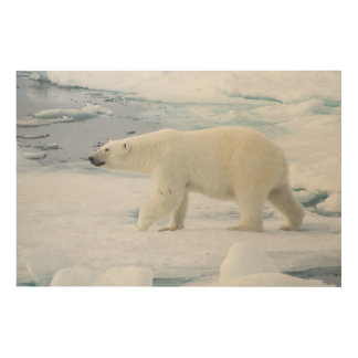 Polar bear walking, Norway Wood Canvases