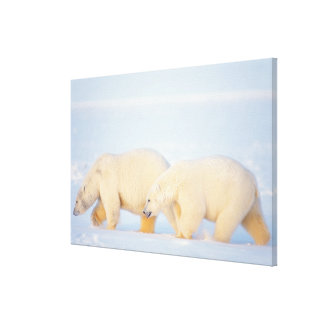 Polar bears on frozen Arctic, 1002 coastal Gallery Wrapped Canvas