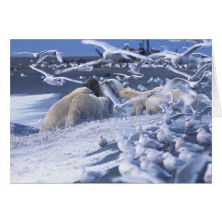 Polar Bears Ursus maritimus), gather around Card
