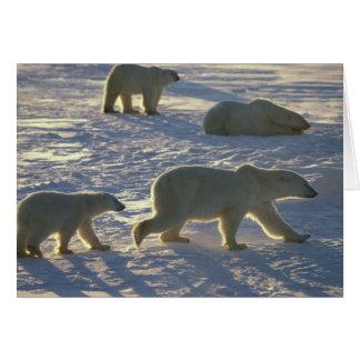 Polar bears Ursus maritimus) Two females, Greeting Card