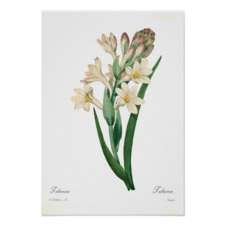 Polianthes tuberosa poster