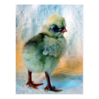 Polish Chick Postcard