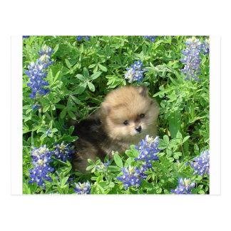 Pom Pup In Blue Bonnets Postcard