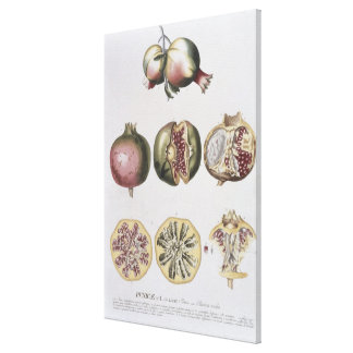 Pomegranate, engraved by Johann Jakob Haid (1704-6 Canvas Print