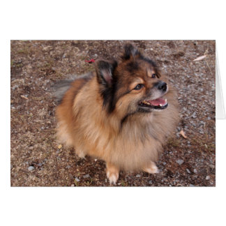Pomeranian dog card