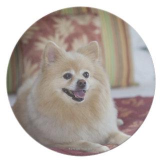 Pomeranian dog in pet friendly hotel room plate