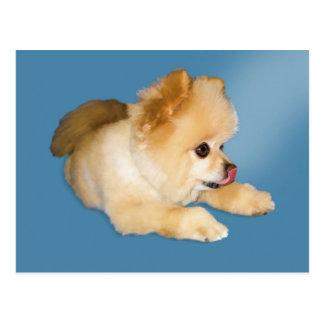 Pomeranian Dog Postcard