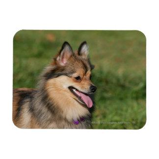 Pomeranian Headshot Panting Rectangular Photo Magnet